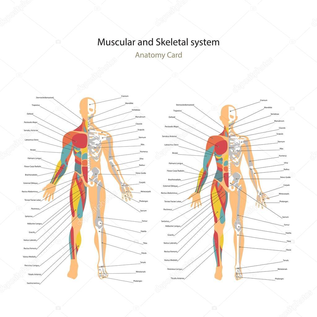 Músculos masculinos y femeninos y sistema óseo gráficos con ...