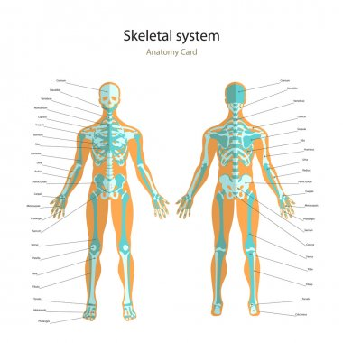 Anatomy guide of human skeleton with explanations. Anatomy didactic board of human bony system. Front and rear view.