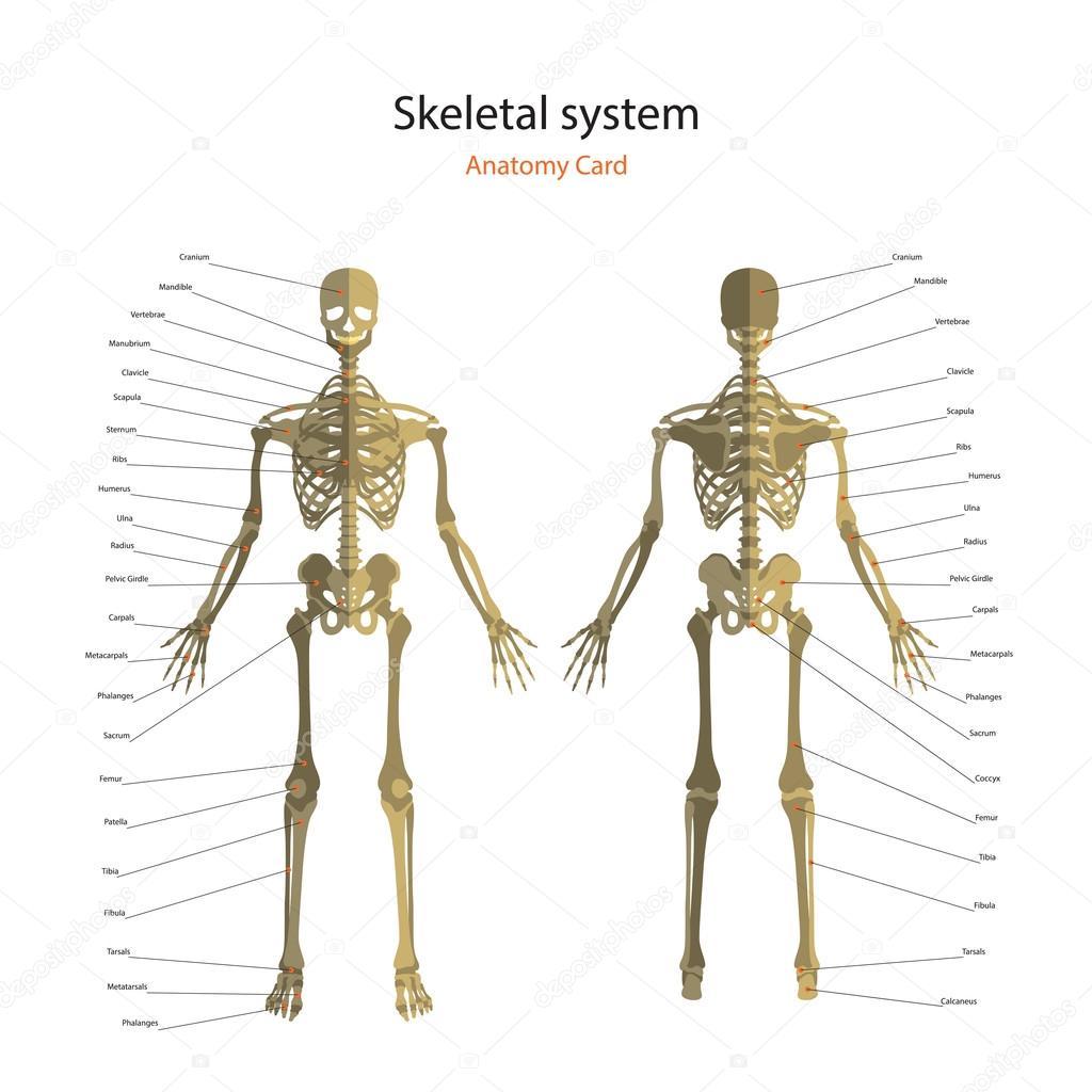 Anatomie-Führer des menschlichen Skeletts mit Erklärungen. Anatomie ...