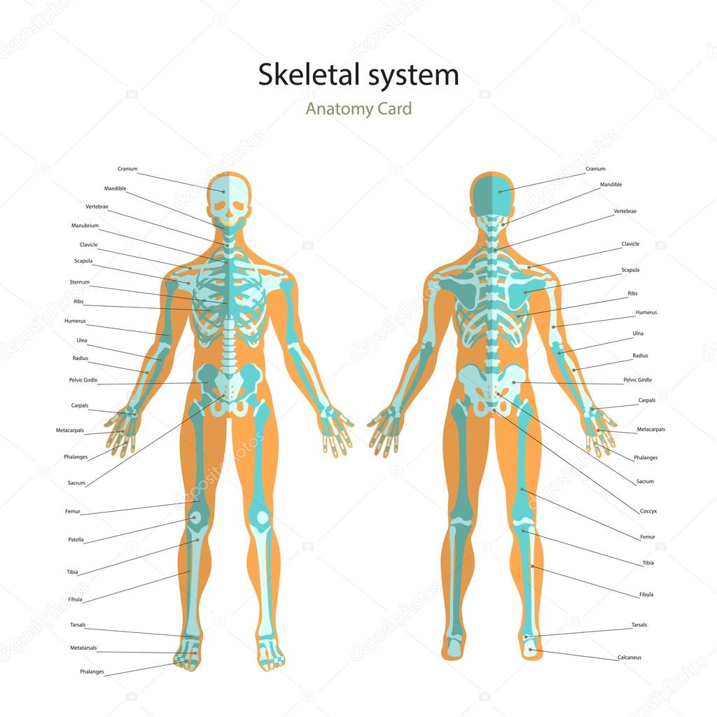 Anatomy guide of human skeleton with explanations. Anatomy didactic ...