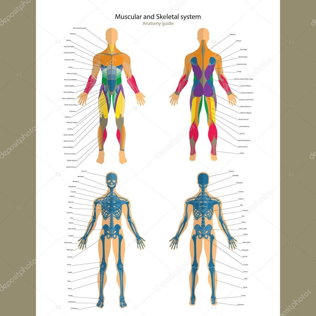 Guía de anatomía. Hombre esqueleto y sistema muscular con ...