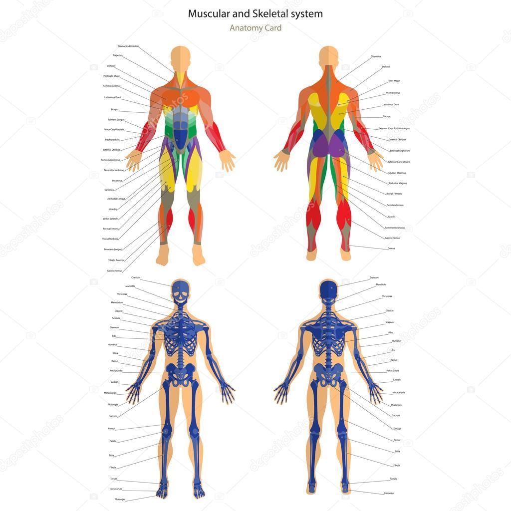 Guia de anatomia. Esqueleto masculino e sistema muscular com ...