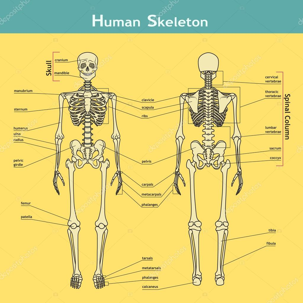 Menschliches Skelett, Front- und Rückansicht mit explanatations ...
