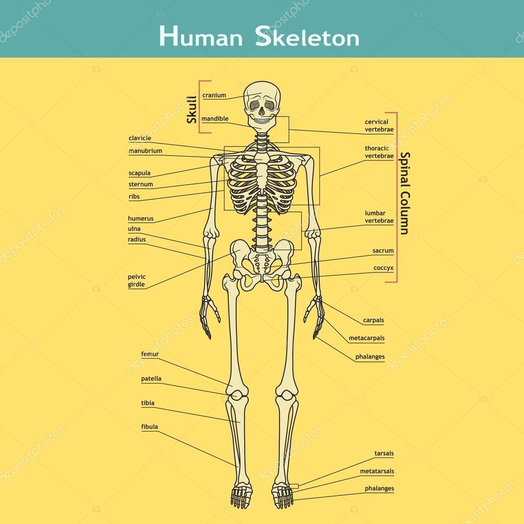 Esqueleto humano con explicaciones — Archivo Imágenes Vectoriales ...