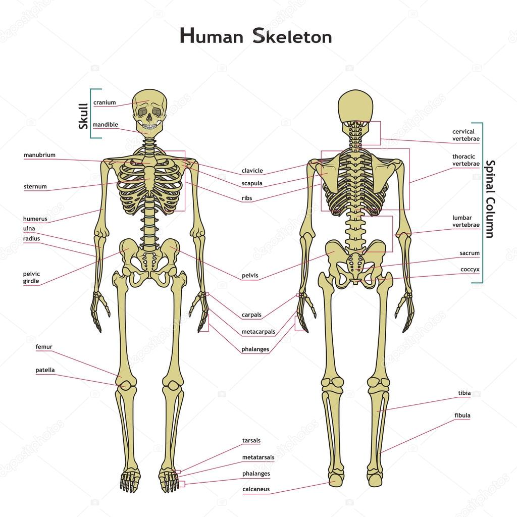 Ven el esqueleto humano, delantero y trasero con explanatations ...