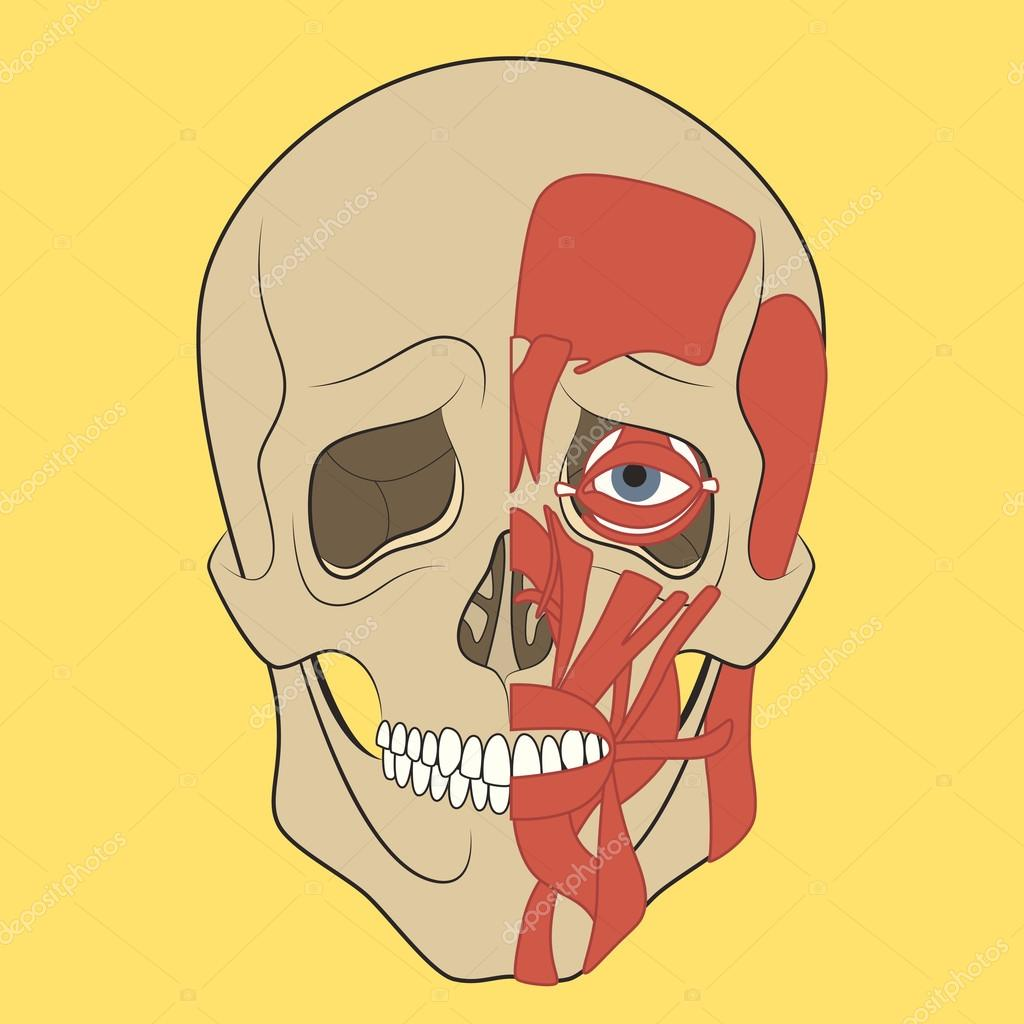 Cráneo humano con sistema muscular — Archivo Imágenes Vectoriales ...