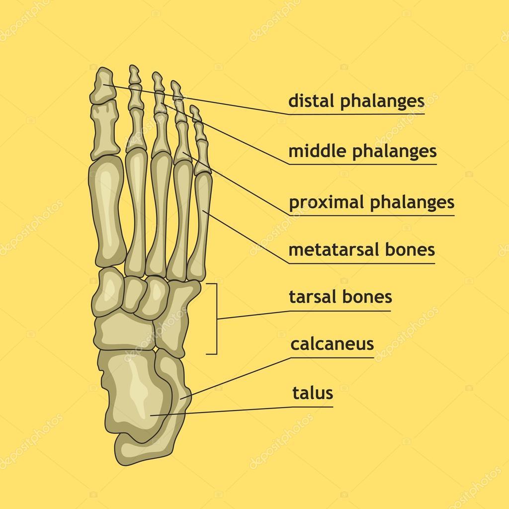 Huesos del pie con la explicación — Archivo Imágenes Vectoriales ...