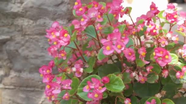 růžové květy na jaře