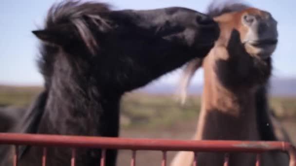 Lovak. A lovak sétálnak. Izlandi lovak.