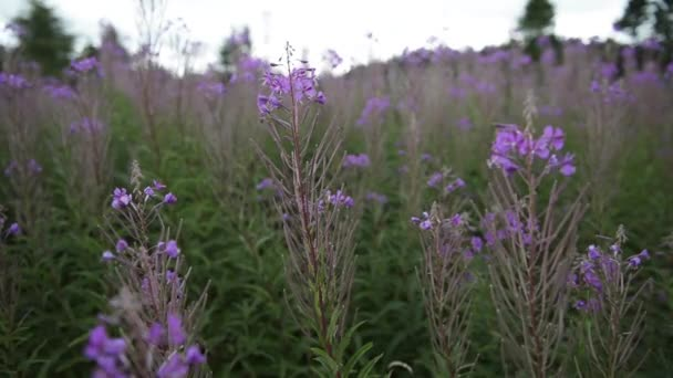 Close up of Scottish Heather flowers