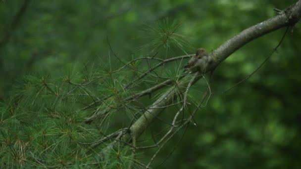 Mužský vrabec
