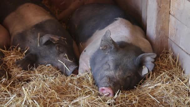 A group of black and white pigs sleep