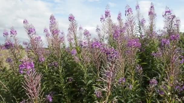 Scottish Heather flowers