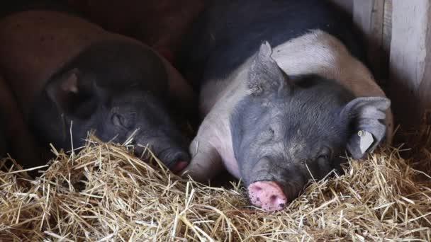 Closeup von zwei Schweinen schlafen
