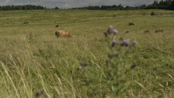 Cattle graze in a field