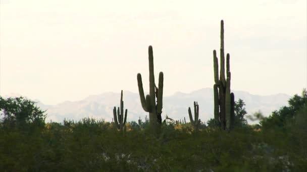 Kaktusy v pouštních hor