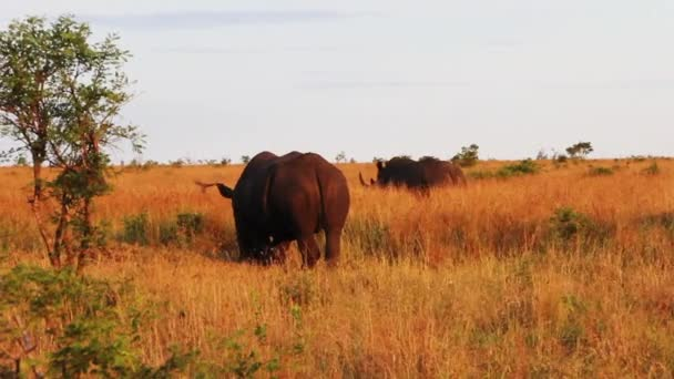 Three rhinoceros graze