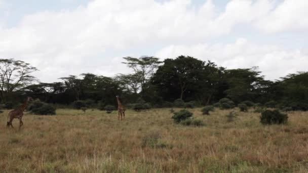 Divoké žirafy v keňské safari