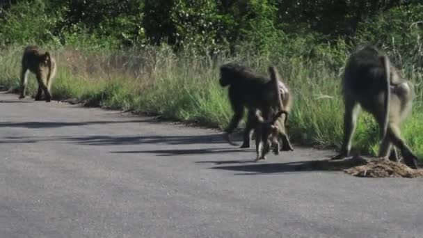 Baboon monkeys walking along road