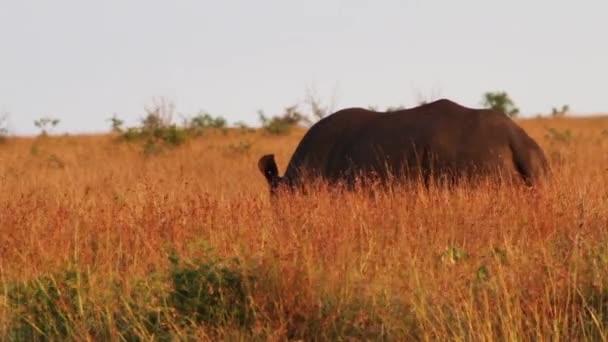 Two rhinoceroses in a field