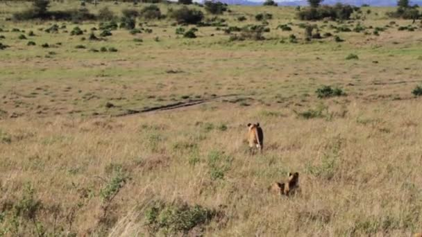 Lion cubs follow a lioness