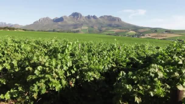 A vineyard in Stellenbosch, South Africa