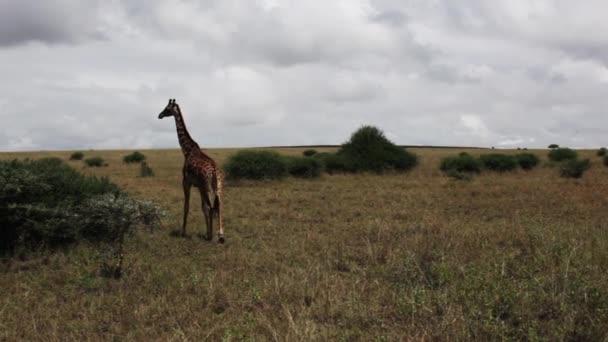A wild giraffe in field
