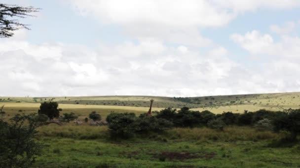 giraffe and zebras in Kenya