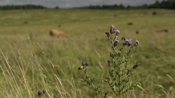 Cattle graze in hayfield