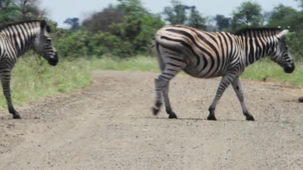 zebry přes polní cestu