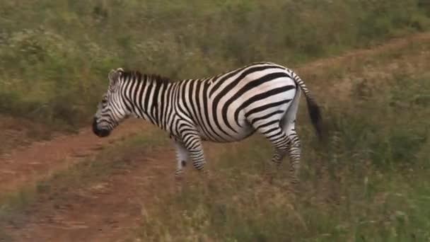 Wild zebra in Nairobi