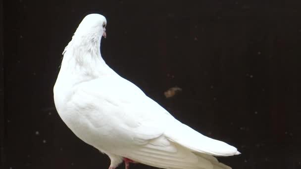 bílý holubí zblízka