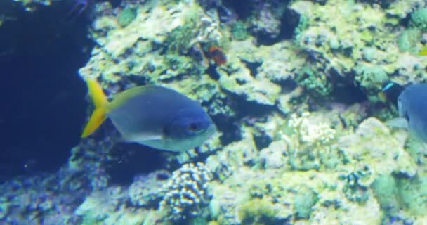 yellowtail fish swimming in aquarium