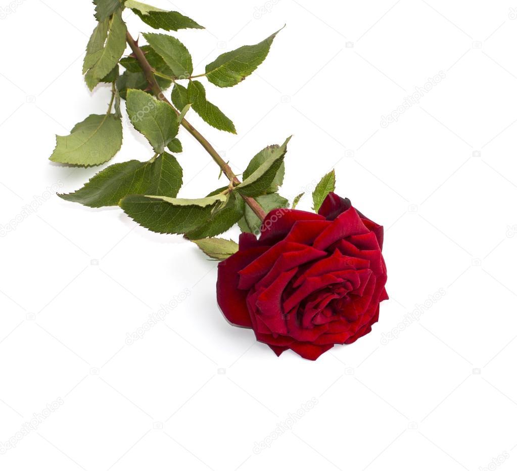 Bellissima Rosa Rossa Su Sfondo Bianco Foto Stock Serjiunea