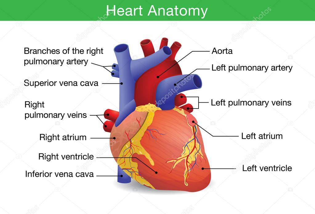 Anatomía del corazón humano — Vector de stock © solar22 #110831058