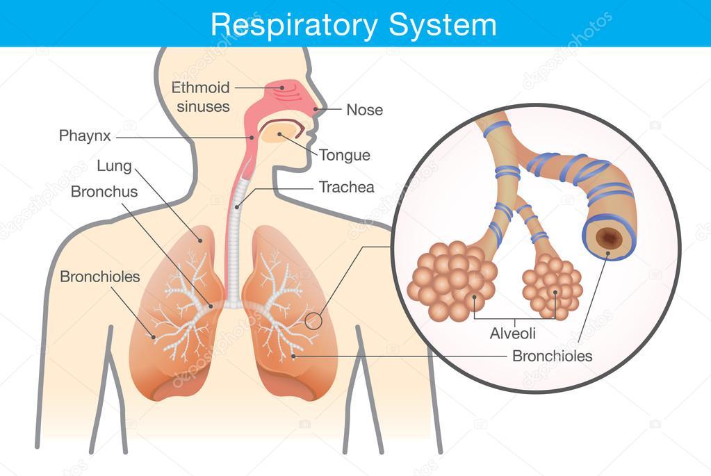 Sistema respiratorio de humanos — Vector de stock © solar22 #111865428