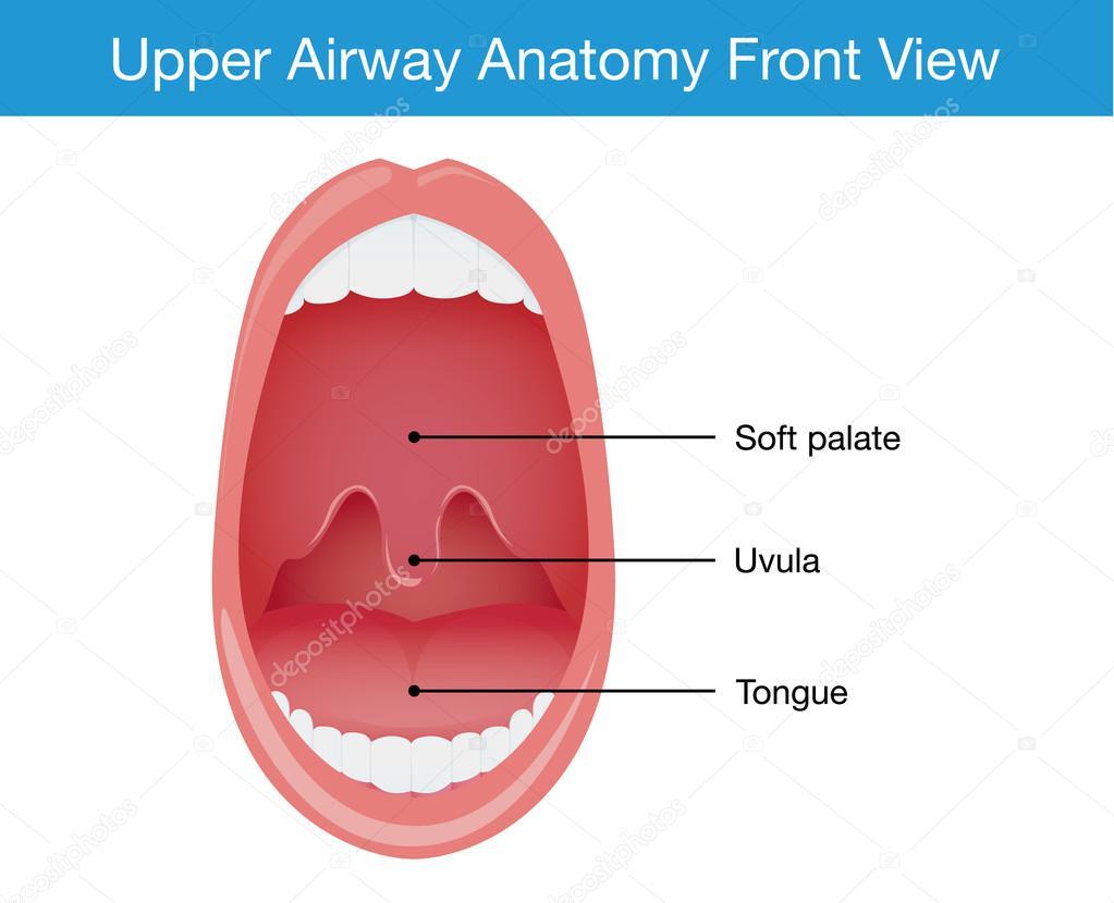 Vista superior de la anatomía humana de la vía aérea superior ...