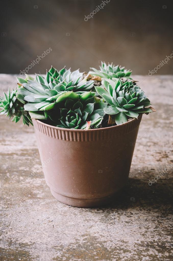 Houselee Sempervivum plants
