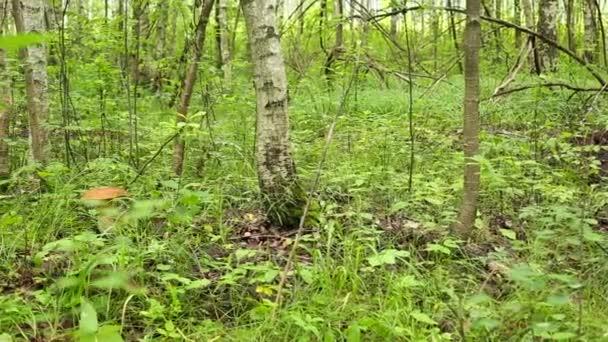 Porcini lesa v trávě v březový les