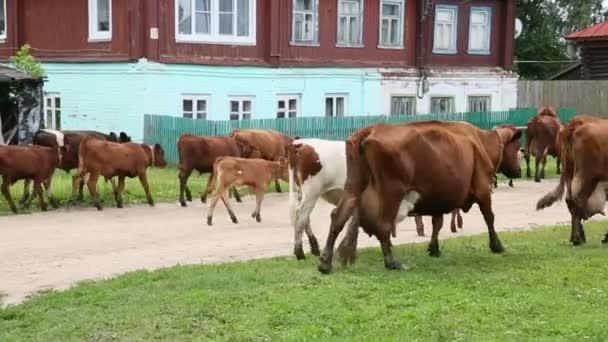 Krávy jdou přes vesnici