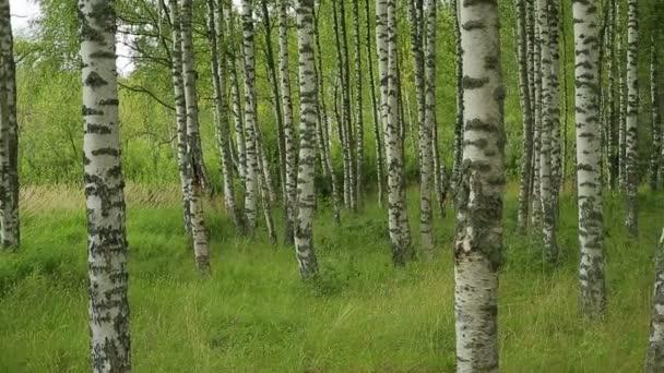Ruská krajina, březový les