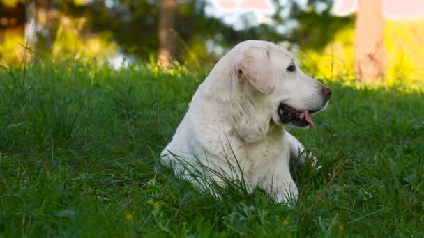 beautiful old senior labrador dog lying in the meadow
