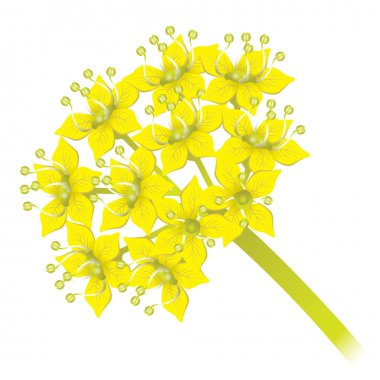 Ferula foetida plant illustration, asafoetida nature. Ideal for catalogs, informative and institutional material