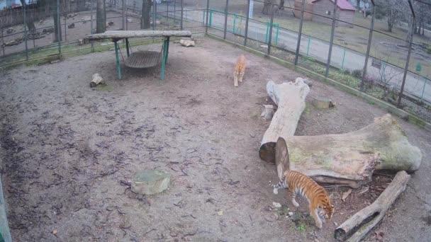 Dva velcí krásní tygři bojují o místo v kleci.