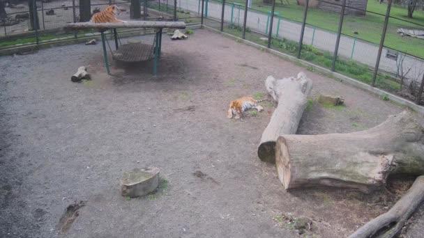 Tigrisek várják a vacsorát..