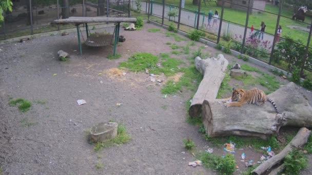 Tygr žvýká piátu ležící na kládě.