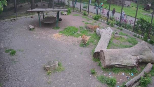 Zatímco jeden tygr stojí na trávníku, druhý tygr hravě loví kočku za klecí.