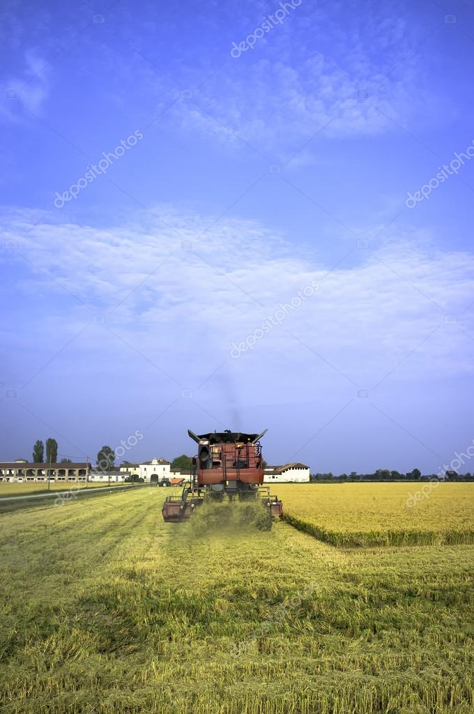 Lomellina, rice harvesting in autumn. Color image