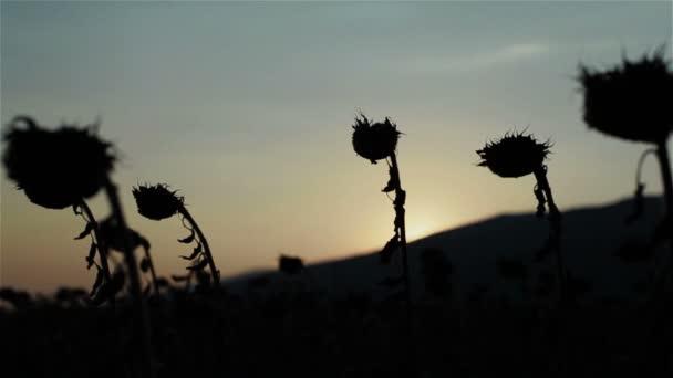 Sziluettjei feje száraz napraforgó mező naplemente vagy napfelkelte ég ellen. Fókusz áttérés hegyi virágok és vissza