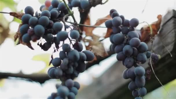 Bunches of ripe and drying organic black wine grapes on vine branch of autumn fall harvest. Macro close-up
